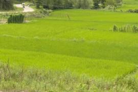 稻谷目标价格补贴去哪儿了?  经调查已发放给种田户