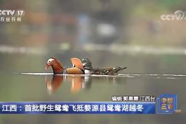 央视关注丨婺源鸳鸯湖迎来今年首批野生越冬鸳鸯